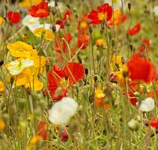golden summer annuals wildflower seed mix