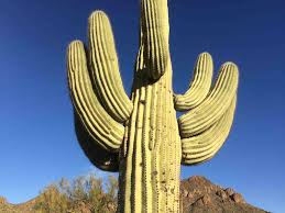 Things To Know About The Saguaro Cactus