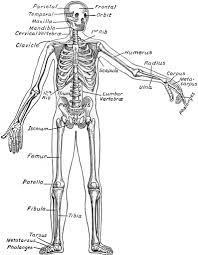tibia diagram blank tibia database wiring diagram images