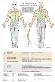 Dermatomes And Myotomes Poster