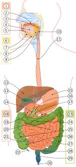 Желудок человека Википедия digestive system out labels svg Желудок