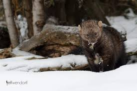 wildlife photography fisher cats