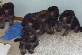 german shepherd newborn puppies. Perfect Shepherd Hereu0027s The Litter At 7 Weeks Theyu0027re Lookinu0027 Pretty Darn Cute But  Not Quite Ready To Go Their New Homes Yet Intended German Shepherd Newborn Puppies S