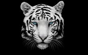 black tiger with blue eyes wallpaper. Delighful Tiger White Tiger Blue Eyes Wallpaper  Photo11 With Black Tiger Blue Eyes Wallpaper