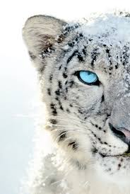 white tiger with blue eyes in snow. Fine Snow Blindhands With White Tiger Blue Eyes In Snow G
