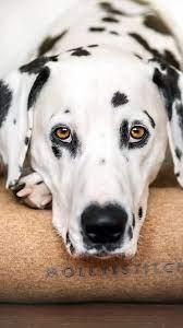 Dog, muzzle, Dalmatian, 1080x1920 ...
