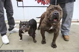 Average Pitbull Weight Chart Pocket Pitbull The 75 000 Micro Bully Queen Califia
