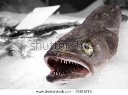 sharp teeth. dead fish with sharp teeth on ice