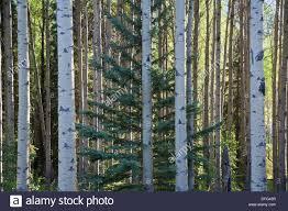 Close up of birch tree trunks in Alberta, Canada
