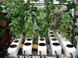 hydroponic herb garden. Hydroponic Basil In A General Hydroponics AeroFlo Aeroponic System. Herb Garden P