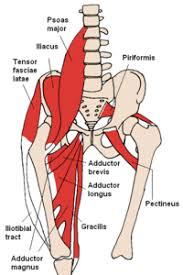Muscles Of The Hip Wikipedia