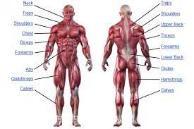 Posted on january 20, 2015 by admin. Muscle Anatomy Human Anatomy Chart