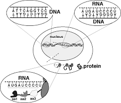 Venn Diagram Comparing Dna And Rna Dna And Rna Venn Diagram Translation V Transcription Venn