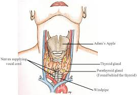 Image result for hypoparathyroidism structure pictures