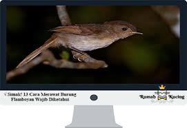 Tips membedakan burung plamboyan jantan dan betina, plamboyan jantan *kepala besar dan cepak *mata besar dan belo. Simak 13 Cara Merawat Burung Flamboyan Wajib Diketahui