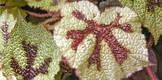 царская лилия о цветах