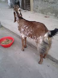 Information Of Some Best Dairy Goats Modern Farming Methods