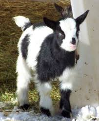 Goat Glossary Of Terms Goats