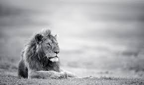 Black And White Lion Wallpaper On Wallpapergetcom