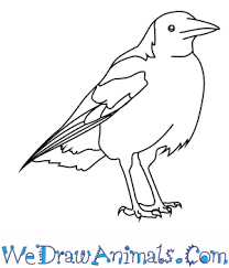 Small Picture How to Draw an Australian Magpie