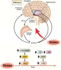 Hpa Axis Cbd Reduces Stress Within The Hpa Axis Chewsomegood
