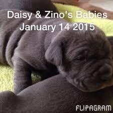 Neapolitan Mastiff Size Chart 52 Best Delta Prime Neapolitan Mastiff Babies Rick Deborah