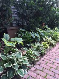 guide to ing the best hostas