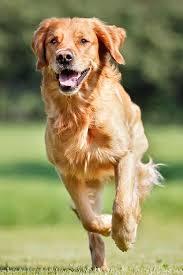 golden retriever. Contemporary Retriever Golden Retriever Running Forward To