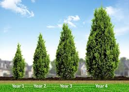 Best Trees For Privacy Best 25 Privacy Trees Ideas On Pinterest Privacy  Landscaping