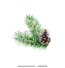 The branch of fir tree with cones on white background, watercolor  illustration in hand-