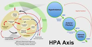 Image Result For Amygdala Hypothalamus Pituitary Adrenal Axis