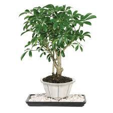 bonsai tree for office. Brussel\u0027s Bonsai Dwarf Hawaiian Umbrella Tree (Indoor) For Office