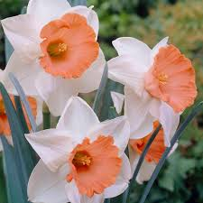 van zyverden daffodils bulbs chromacolor set of 12