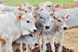Image result for indian cows