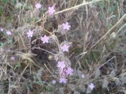 Limonium ferulaceum · iNaturalist.org