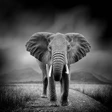 Afrikaanse Olifant Fotos Afbeeldingen En Stock Fotografie 123rf