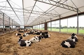 Afbeeldingsresultaat voor koeienstal