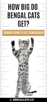 How Big Will A Full Grown Bengal Cat Be Bengal Cat Full