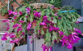 You will receive a small living plant (not flowery): Plantas Pendentes 20 Tipos Dicas De Cultivo Para Uma Casa Mais Verde