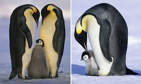 real baby penguins pictures. Exellent Pictures A Cute Emperor Penguin Chick Is Groomed By His Parent To Real Baby Penguins Pictures E