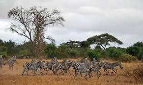 essay on wildlife  wwwgxartorg photo essay kenya wildlife amboseli national park travel with my first glimpse of amboseli s famous