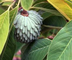 Peru And Ecuador Native Annona Cherimola Fruit Tree U2014 Stock Photo Annona Fruit Tree