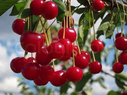 fruit trees wallpapers. Fine Trees Cherry Trees Intended Fruit Wallpapers E
