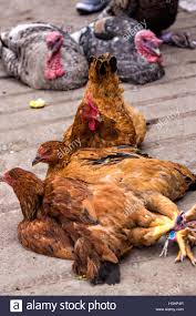 live chicken for sale. Brilliant Live Live Chickens On Sale At The Sunday Market In Tlacolula De Matamoros  Mexico The In Chicken For Sale H