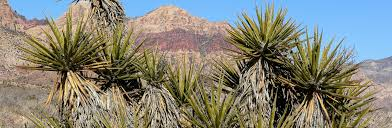 desert gardening. Yucca: Gardening Secrets From The Desert