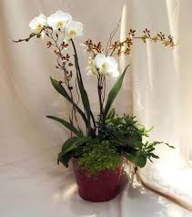 meaning and symbolism of orchid