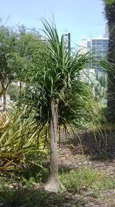 En Iyi 17 Fikir Ponytail Palm Tree Pinterestte Etli Yaprakl .