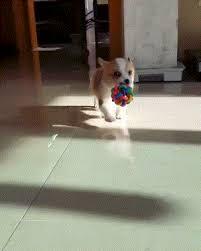 corgi puppy stampede gif. Modren Corgi Tiny Corgi Puppy Walking With Toy Gif Inside Corgi Puppy Stampede Gif N