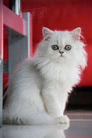 white persian cat. Contemporary Cat White Persian Cat Closeup Intended Cat F