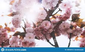 Sakura Blossom On Background Sun Flare Macro Pink Cherry
